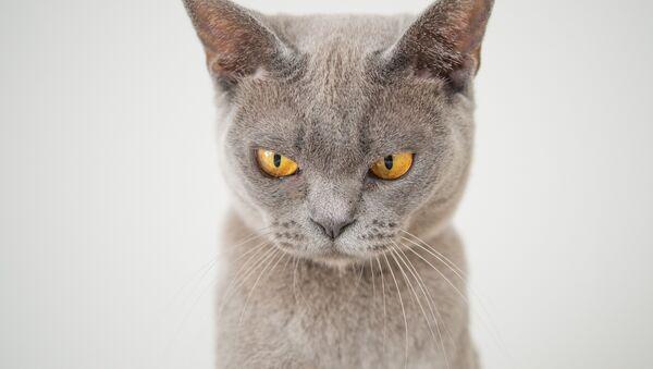 Un gato enfadado - Sputnik Mundo