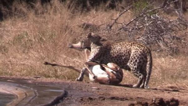 Una hiena ataca a un leopardo - Sputnik Mundo