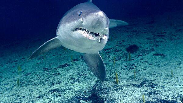 Un tiburón tigre, referencial - Sputnik Mundo