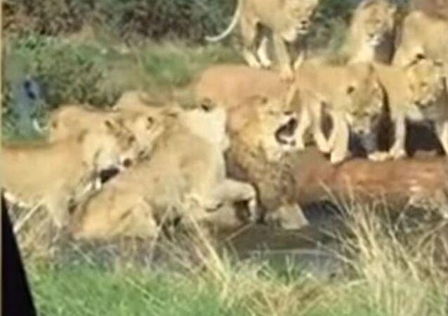 Con uñas y dientes: leonas enfurecidas asaltan a un león