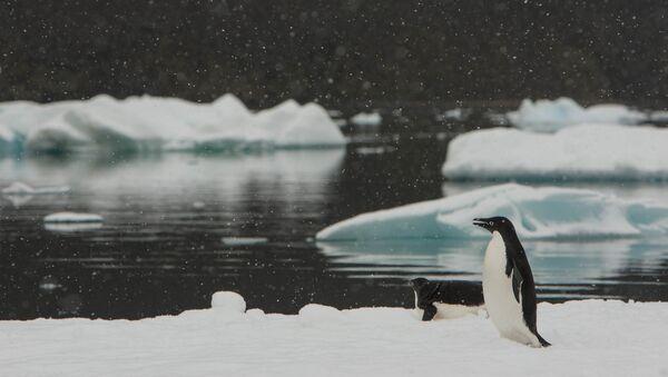 Los pingüinos Adelia en Antártida (imagen referencial) - Sputnik Mundo
