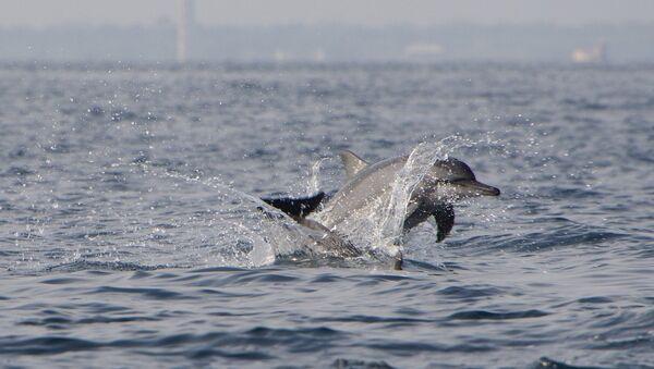 Unos delfines, referencial - Sputnik Mundo