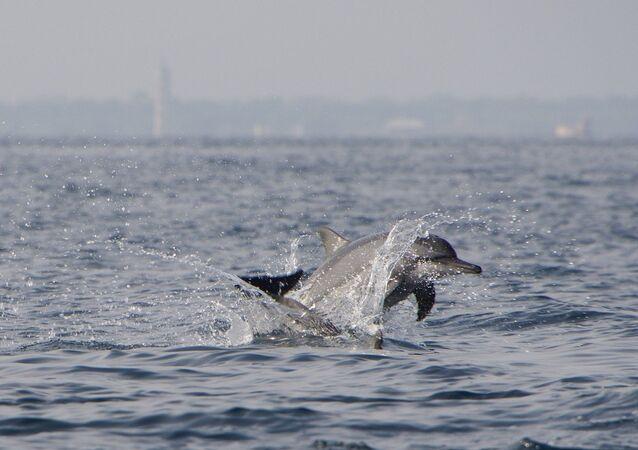 Unos delfines, referencial