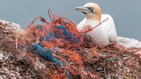 Ave marina junto a residuos plásticos - Sputnik Mundo