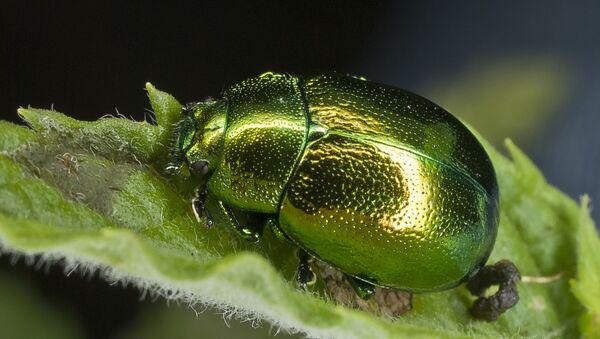 Un escarabajo de la familia de los comedores de hojas - Sputnik Mundo