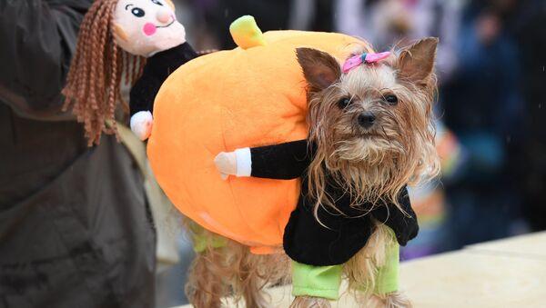 Un Yorkshire terrier durante un desfile de perros en Moscú - Sputnik Mundo