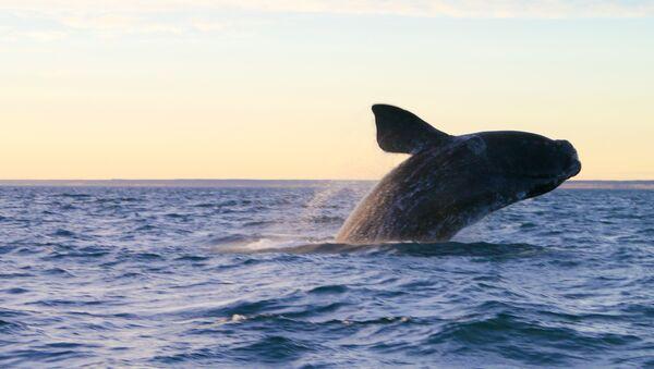 Una ballena en Península Valdés, Argentina - Sputnik Mundo