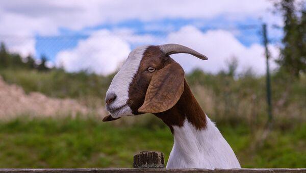 Una cabra - Sputnik Mundo