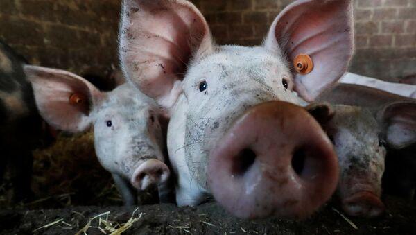 Свиньи в хлеву на ферме недалеко от Брюсселя - Sputnik Mundo
