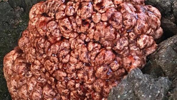 Un árbol con un 'cerebro sangrante' - Sputnik Mundo