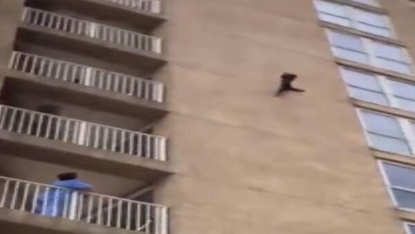 Un 'mapache ninja' escala un edificio residencial y cae - Sputnik Mundo