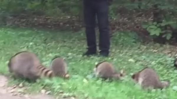 Este 'encantador de mapaches' te alegrará el día - Sputnik Mundo