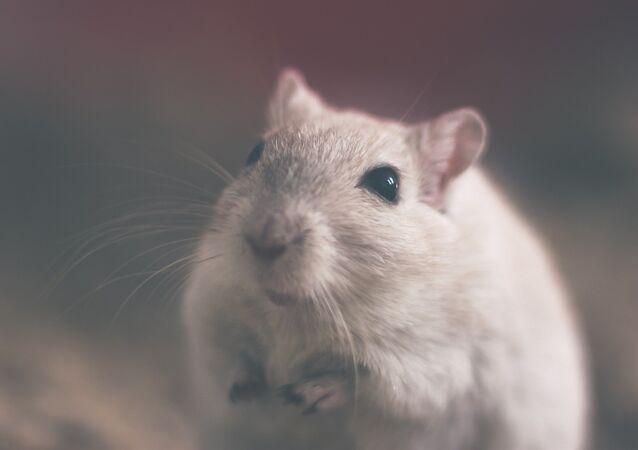 Una rata (imagen referencial)