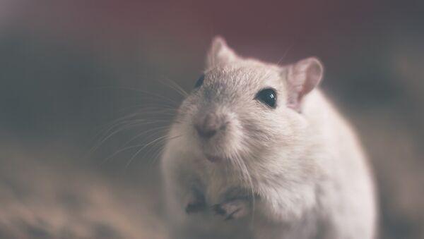 Una rata (imagen referencial) - Sputnik Mundo