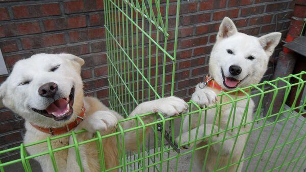 Perros de la raza Pungsan - Sputnik Mundo