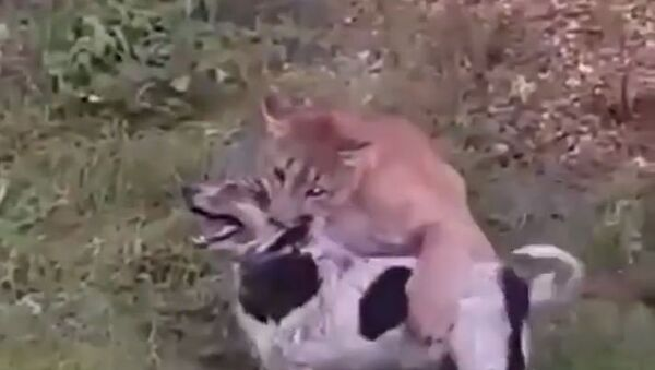 Un puma enfurecido ataca a un perro - Sputnik Mundo
