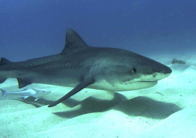 Un tiburón tigre jóven