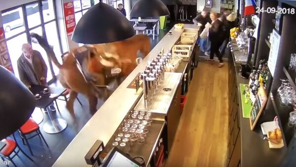 Un caballo irrumpe en un bar en Francia - Sputnik Mundo