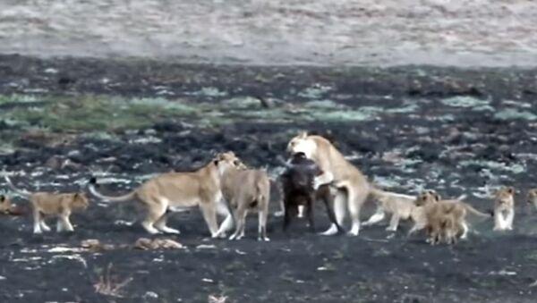 Tres leonas atacan a un búfalo ante la expectación de sus crías - Sputnik Mundo