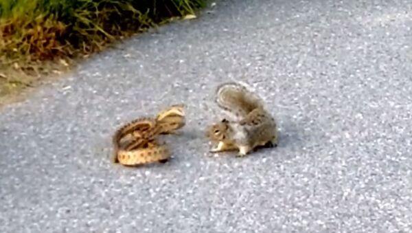 Ardilla ataca a una serpiente - Sputnik Mundo