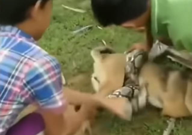 Tres niños salvan a un perrito de una pitón hambrienta