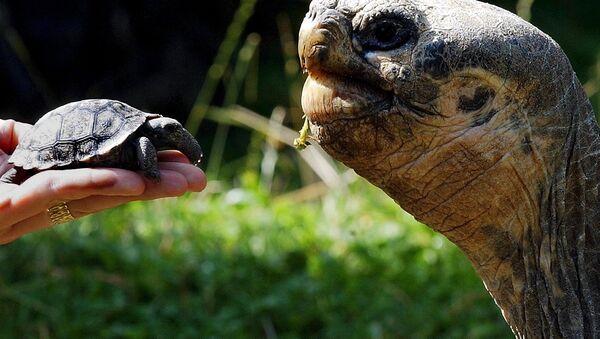 Tortugas en Galápagos - Sputnik Mundo