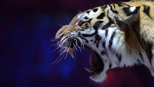 Un tigre - Sputnik Mundo