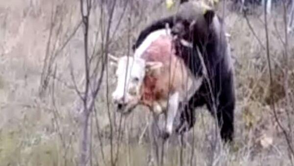 Filman una sangrienta batalla entre un oso y un toro - Sputnik Mundo
