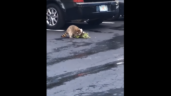 América salvaje: un mapache derrota a una iguana en un sangriento combate - Sputnik Mundo