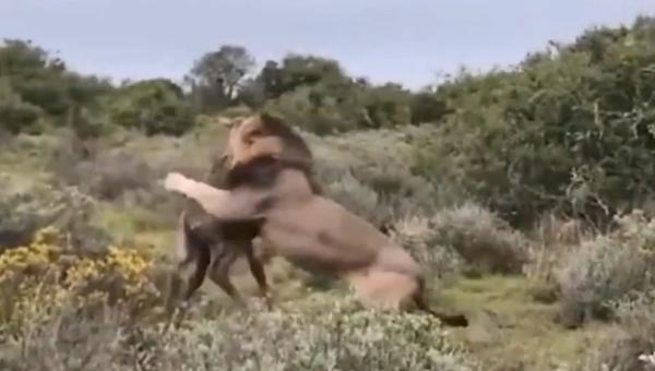 Un león termina con la vida de una jirafa recién nacida - Sputnik Mundo