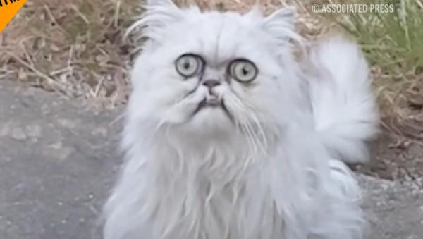 ¿Sabes poner la misma cara que este gato? - Sputnik Mundo