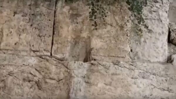 Una serpiente en el Muro de los Lamentos dispara teorías sobre la llegada del Mesías - Sputnik Mundo