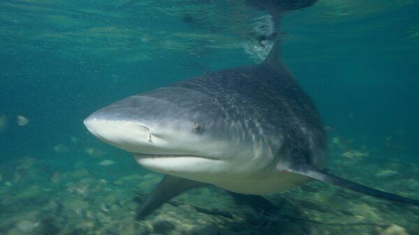 Tiburón toro, referencial - Sputnik Mundo