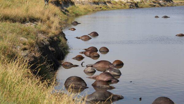 Los búfalos muertos en un río del parque nacional de Botsuana - Sputnik Mundo