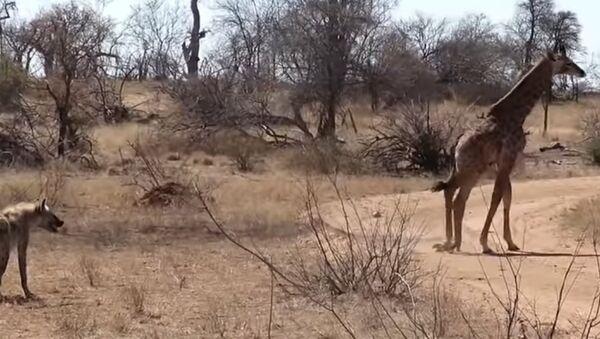 Una jirafa se lanza desesperadamente a la defensa de su cría contra hienas - Sputnik Mundo