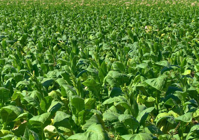 Una plantación de tabaco
