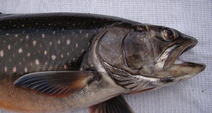 El Salvelinus boganidae, pez 'más útil' del mundo