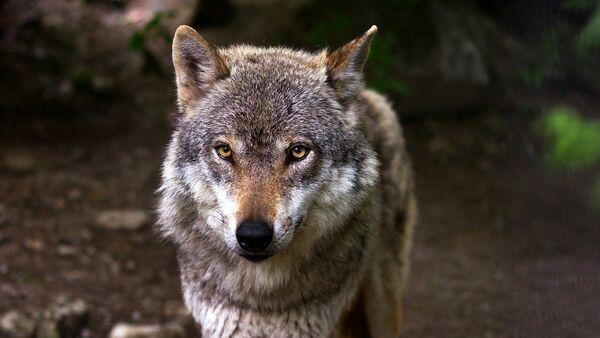 Un lobo, referencial - Sputnik Mundo