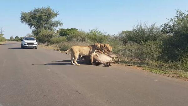 Leones devoran a un búfalo en medio de la carretera - Sputnik Mundo