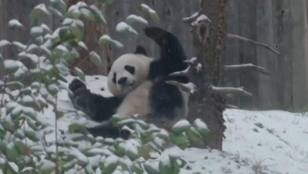 Un oso panda enloquece de alegría tras presenciar la primera nevada - Sputnik Mundo