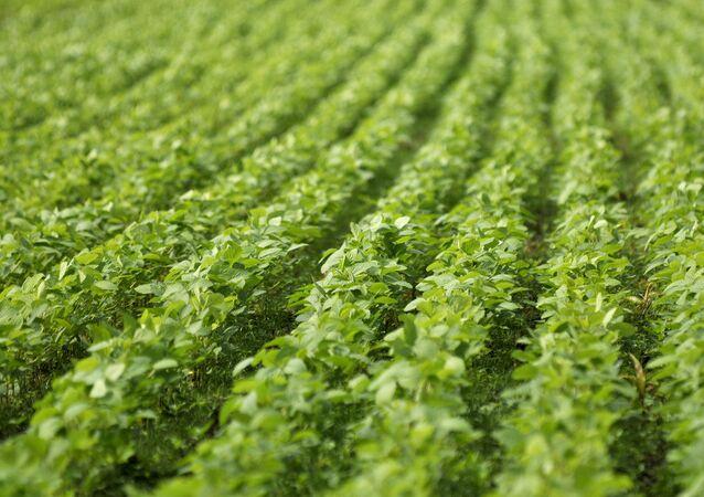 Un campo de soja