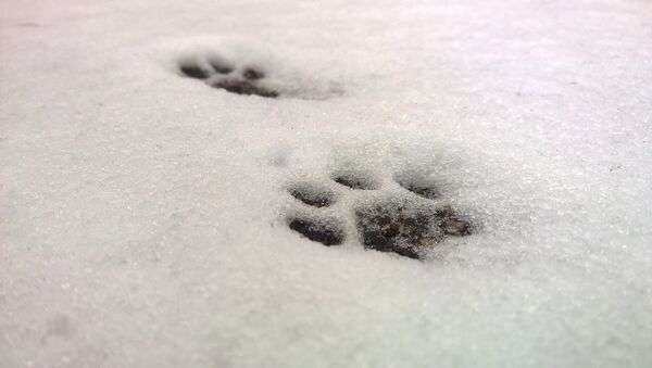 Huellas de un gato en la nieve - Sputnik Mundo