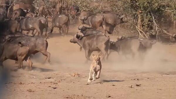 Enemigos eternos: una leona escapa de una manada de búfalos - Sputnik Mundo