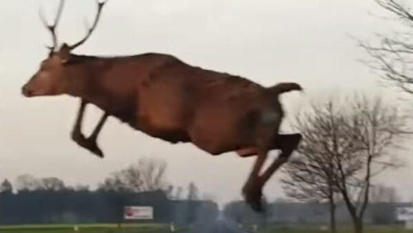 Increíble: un ciervo 'volador' atemoriza a un automovilista - Sputnik Mundo