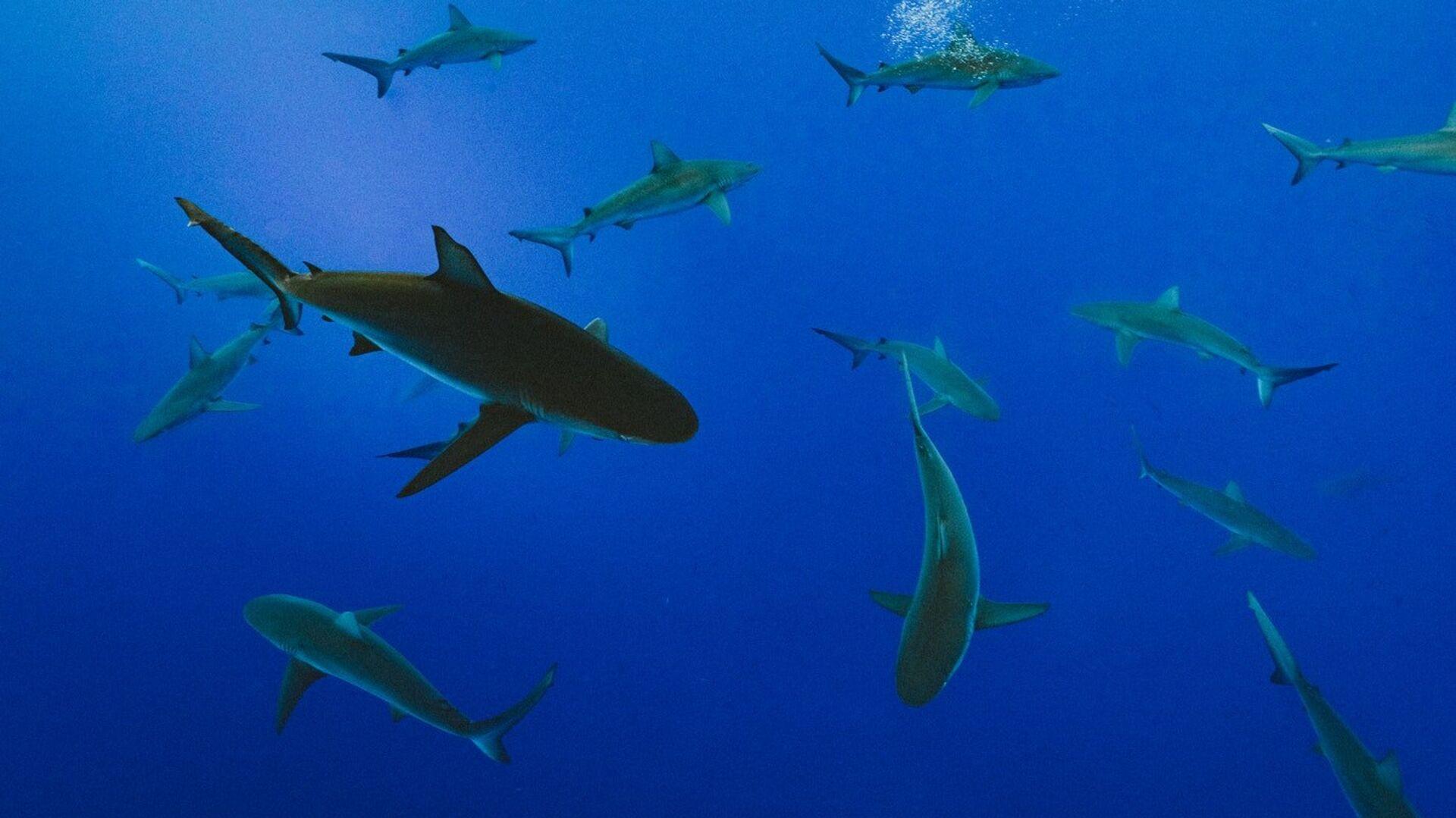 Tiburones, imagen referencial - Sputnik Mundo, 1920, 12.08.2021