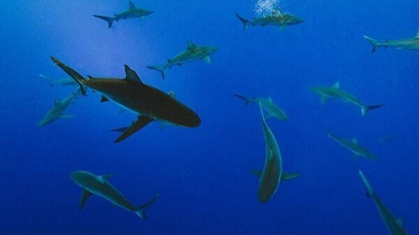 Tiburones, imagen referencial - Sputnik Mundo