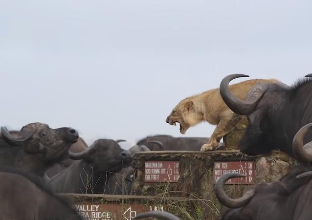 Un león muestra sus dientes para defenderse de una manada de búfalos hambrientos