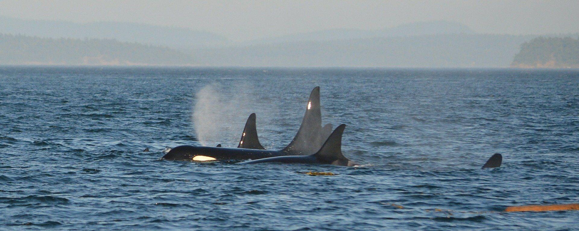 Un grupo de orcas (archivo) - Sputnik Mundo, 1920, 17.06.2021