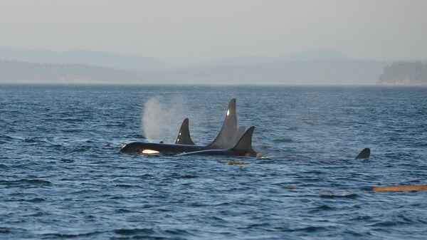 Un grupo de orcas (archivo) - Sputnik Mundo