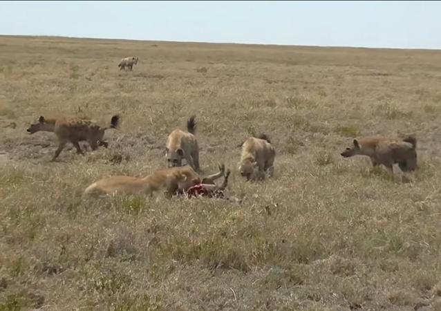 Hienas le roban el almuerzo a una leona